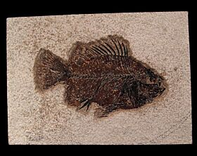 Green River Fm. Cockereillites fish for sale | Buried Treasure Fossils