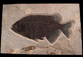 Top Quality Fossil fish for sale - Phareodus | Buried Treasure Fossils