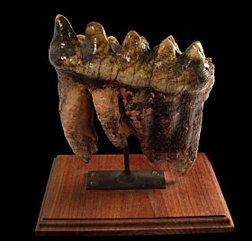 Real Mastodon tooth for sale | Buried Treasure Fossils