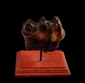 Top Quality Mastodon tooth for sale | Buried Treasure Fossils