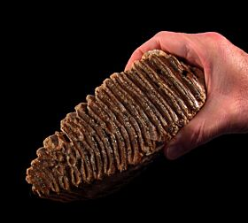 Cheap Mammoth tooth for sale | Buried Treasure Fossils