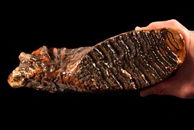 Extra Large Woolly Mammoth tooth for sale | Buried Treasure Fossils