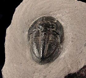 Dechenella burmeisteri trilobite for sale | Buried Treasure Fossils