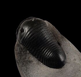 Parahomanolotus planus trilobite for sale | Buried Treasure Fossils