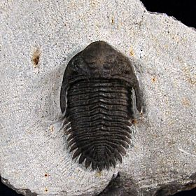 Kayserops trilobite from Morocco for sale | Buried Treasure Fossils