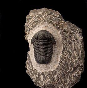 Moroccan Gerastos for sale | Buried Treasure Fossils