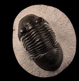 Moroccan Paralejurus rehamnanus  for sale | Buried Treasure Fossils