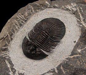 Scabriscutellum furficerum trilobite for sale | Buried Treasure Fossils
