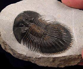 Thysanopeltis speciosa