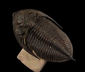 Zilchovaspis rogusa trilobite for sale | Buried Treasure Fossils