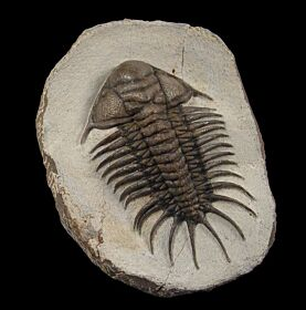Akantharges mbareki trilobite for sale | Buried Treasure Fossils