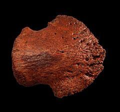 Large Edmontosaurus pes ungual for sale | Buried Treasure Fossils