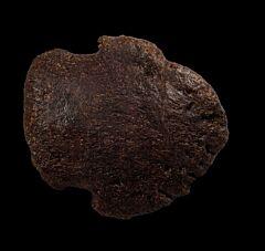 Large Edmontosaurus toe claw for sale | Buried Treasure Fossils