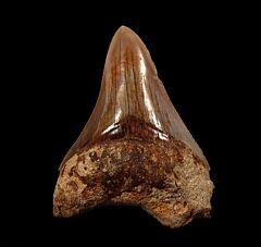 Good Indonesia Megalodon tooth for sale   Buried Treasure Fossils