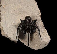 Cyphaspis tafilaltense trilobite for sale   Buried Treasure Fossils