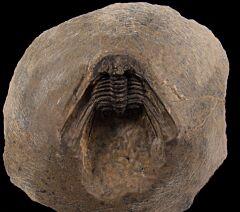 Leonaspis trilobite for sale   Buried Treasure Fossil