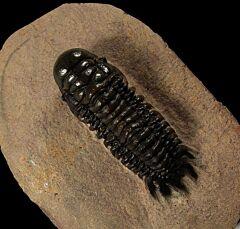 Crotalocephalina trilobite for sale   Buried Treasure Fossils