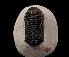 Phacops speculator trilobite from Morocco for sale   Buried Treasure Fossils