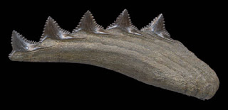 Edestus - Scissor Tooth Shark
