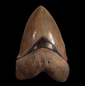 Museum Quality Shark Teeth