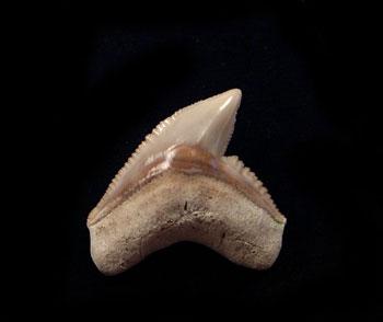 Tiger Shark Teeth