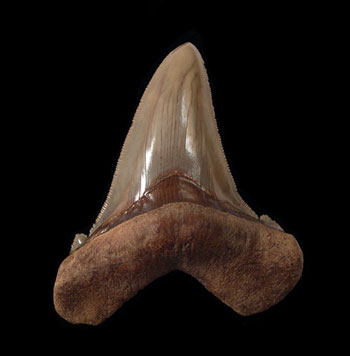 Angustidens Shark Tooth Fossils