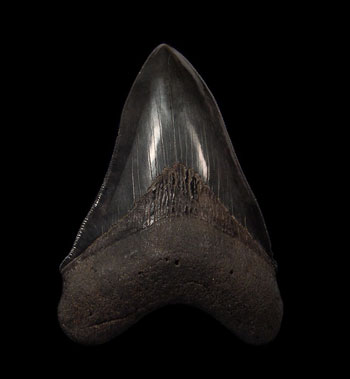 Carcharocles Megalodon: The Largest Known Shark to Prowl Ocean Waters