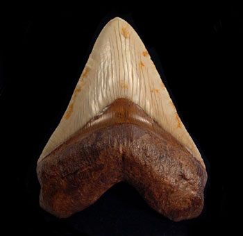 Evolution of Megalodon's Teeth into the Ultimate Cutting Tools: Things You Should Know