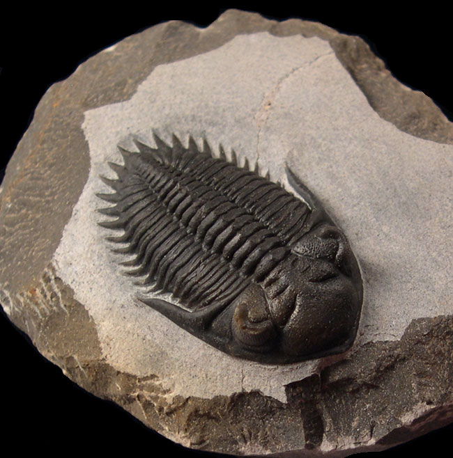 Fossil Facts: 3 Interesting Trilobite Tidbits That May Surprise You